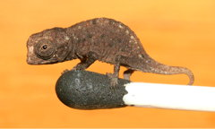 Brookesia micra on a matchhead